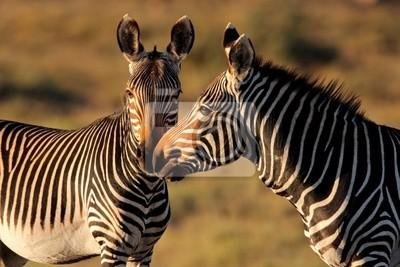 Cap Zèbres de montagne, Mountain Zebra National Park, Afrique du Sud