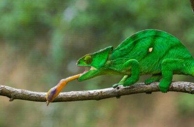 Image Chameleon à la chasse aux insectes. Longue langue caméléon. Madagascar. Une excellente illustration. Fermer.