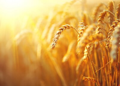 Image Champ de blé. Oreilles, Doré, blé, closeup. Rural, paysage, sous, lumière soleil