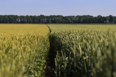 Image Champ de blé sur une journée d'été