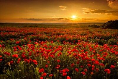 Image Champ de coquelicots au coucher du soleil