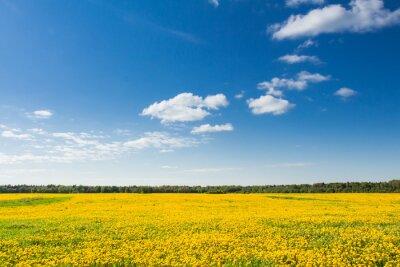 Image Champ de pissenlits jaunes sur le ciel bleu.