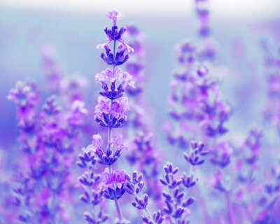 Image Champ lavande fleurs