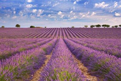Image Champs fleuris de lavande en Provence, sud de la France