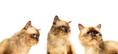 Chat persan avec une variété de pose