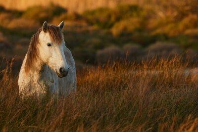 Image Cheval blanc de Camargue