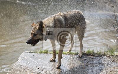 chien secouer après la baignade