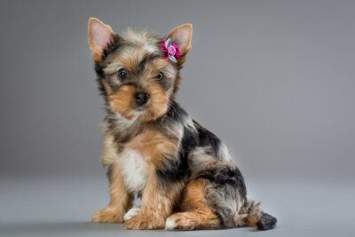 Image Chiot Yorkshire terrier