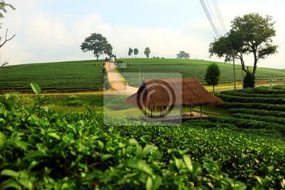 Choui Fong Oolong Jardin de thé. Chiang Rai, Thaïlande
