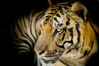 Image Close up tigre