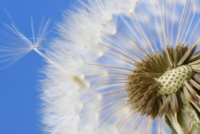 Image Closeup, pissenlit, bleu, fond
