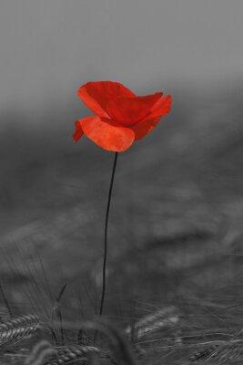 Image Coquelicot rouge et noir