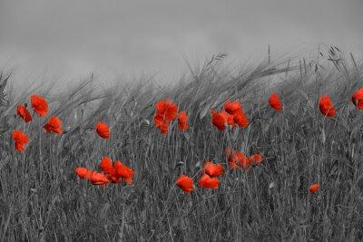 Image Coquelicots rouge et noir