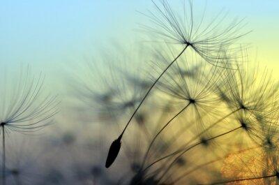Image Coucher du soleil d'or et du pissenlit, fond zen de méditation