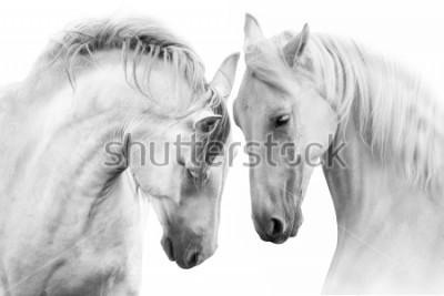 Image Couple de beaux chevaux blancs isolés sur fond blanc. Image clé haute