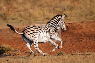 Courir Plains Zebra