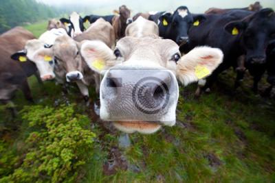 curieux Clouse en place un groupe de vaches seulement un nez pointu
