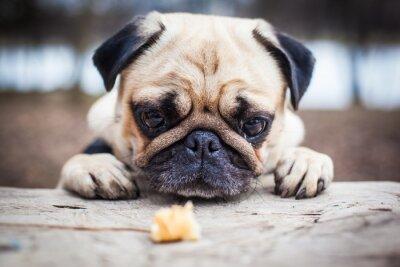 Image Cute pug chien de chien