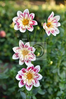 Dahlia Rose Et Blanc Au Jardin En Ete Peintures Murales Tableaux
