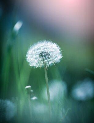 Image Dandelion close up