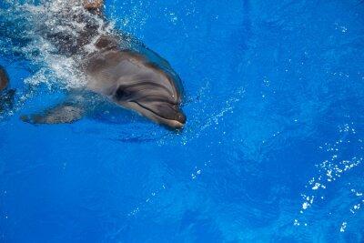 Image Dauphin souriant. Dauphins nager dans la piscine