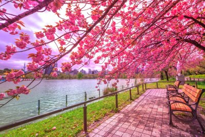 Image Des bancs sous des cerisiers en pleine floraison au cours de Hanami le long de l'étang Shinobazu dans le parc Ueno, un parc près de la gare d'Ueno, au centre de Tokyo. Le parc d'Ueno est considéré com