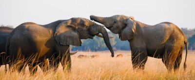 Image Deux éléphants jouant les uns avec les autres. Zambie. Parc national du Bas-Zambèze. Zambèze. Une excellente illustration.
