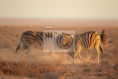Deux plaines (Burchells) Zebra étalons (Equus burchelli) combats, Parc national d'Etosha, Namibie.