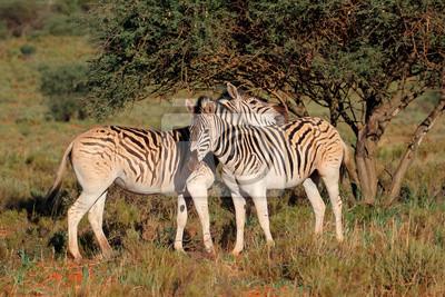 Deux zèbres de plaine (Equus burchelli) dans leur habitat naturel, Afrique du Sud.
