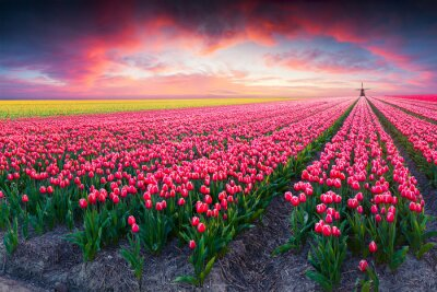 Image Drame, ressort, scène, tulipe, ferme