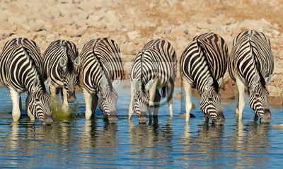 Eau potable zèbres des plaines, le parc national d'Etosha