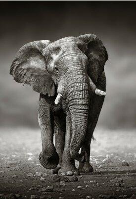 Image Elephant approche de l'avant