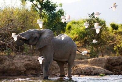 Image Éléphant avec des hérons blancs. Zambie. Parc national du Bas-Zambèze. Zambèze. Une excellente illustration.