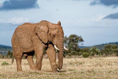Image Éléphant de bœuf