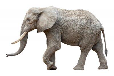 Image Elephant devant un fond blanc