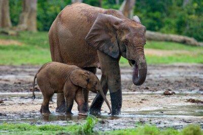 Image Éléphant femelle avec un bébé. République centrafricaine. République du Congo. Réserve spéciale Dzanga-Sangha. Une excellente illustration.
