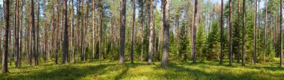 Image Été conifère forêt panorama
