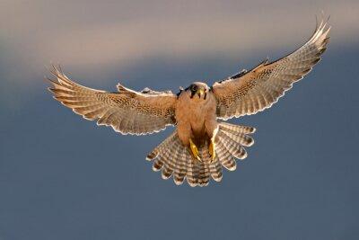 Faucon lanier atterrissage