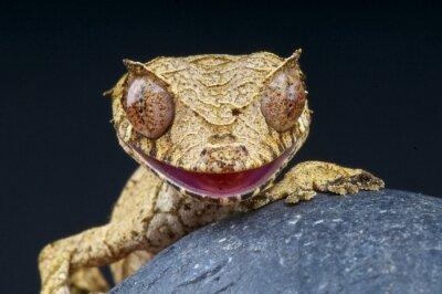 Image Feuille-gecko à queue / Uroplatus phantasticus