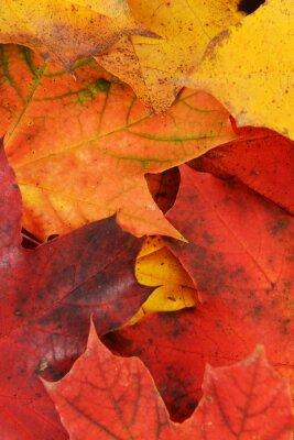 Image feuilles de l'érable