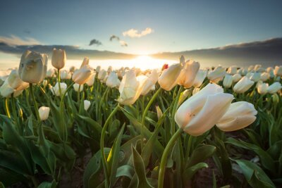 Image field with white tulips in sunshine