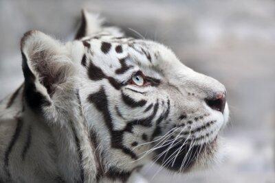 Image Fin, haut, portrait, blanc, bengal, tigre Le plus beau animal et la plus dangereuse bête du monde. Ce rapace sévère est une perle de la faune. Portrait de visage animal.