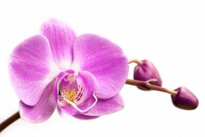 Image Fleur d'orchidée rose sur un fond blanc. Orchidée fleur isolé.