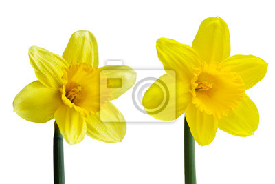 Fleur De Jonquille Peintures Murales Tableaux Belle Narcisse