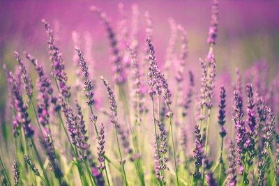 Image Fleur de lavande