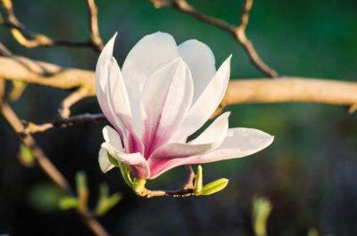 Image fleur de magnolia dans la lumière du soleil