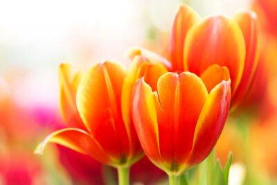 Image Fleur de tulipe orange Close-up dans la nature