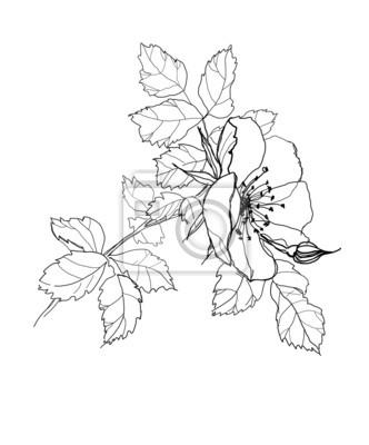 Fleur Rose Dessin Au Crayon Peintures Murales Tableaux Rose De
