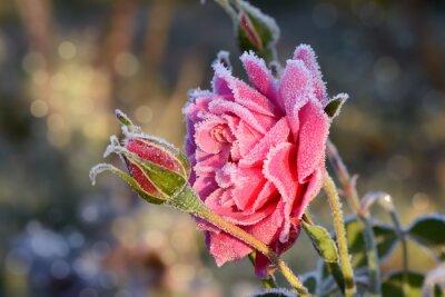 Image fleurs 529