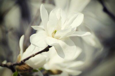 Image Fleurs blanches Magnolia